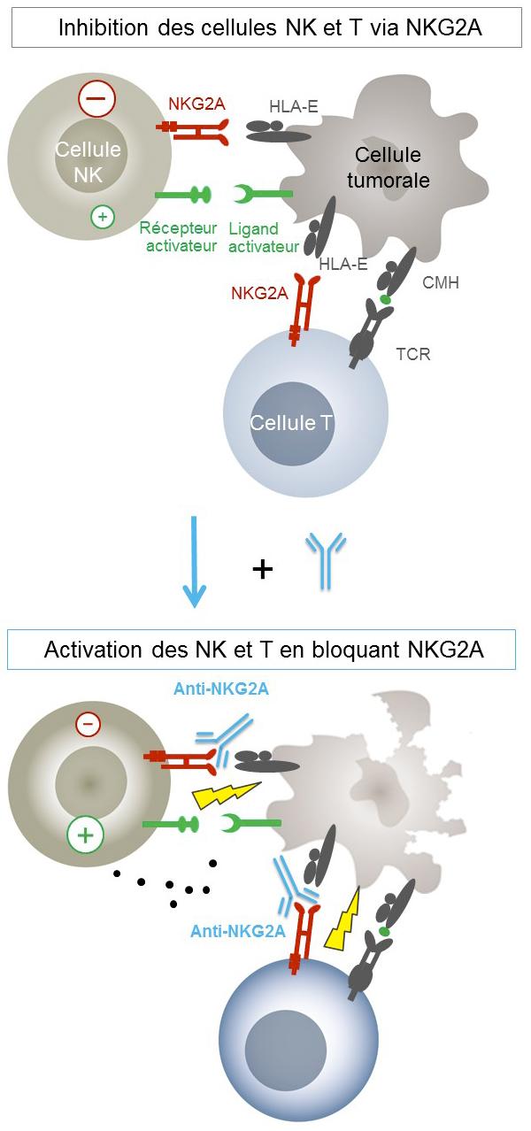 Mécanisme d'action de l'anticorps anti-NKG2A