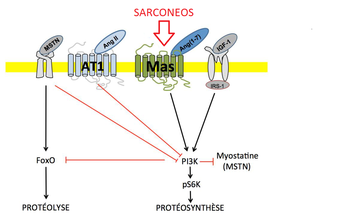 Mécanisme d'action principal de Sarconeos, agoniste stéroïdien du récepteur Mas